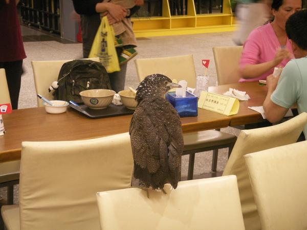 PICT0896到台大活動中心用餐區逛街的黑冠麻鷺亞成鳥~.JPG