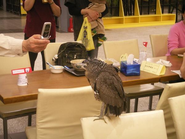 PICT0898到台大活動中心用餐區逛街的黑冠麻鷺亞成鳥~.JPG