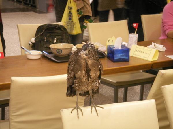 PICT0900到台大活動中心用餐區逛街的黑冠麻鷺亞成鳥~.JPG