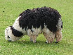 250px-Unshorn_alpaca_grazing.jpg