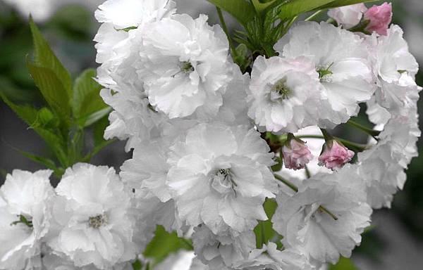 重瓣櫻花-1