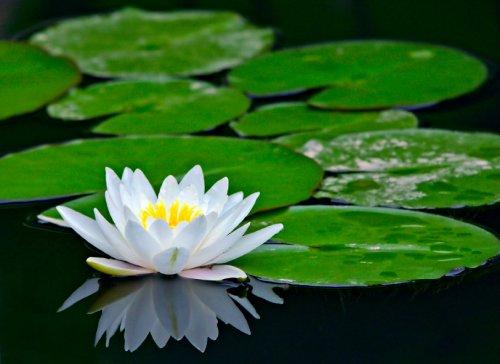 http://www.teachenglishinasia.net/asiablog/asian-water-lilies-and-lotus-flowers