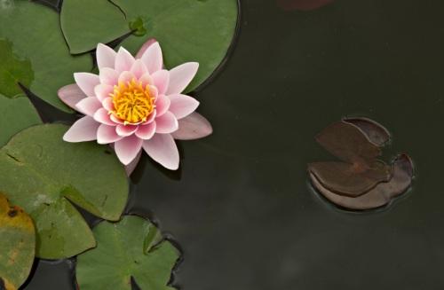 pink_water_lily_flower.jpg