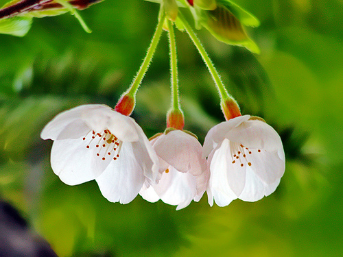 http://ferenc.biz/pictures/dreamy-white-japanese-cherry-blossom-flower-photo.jpg