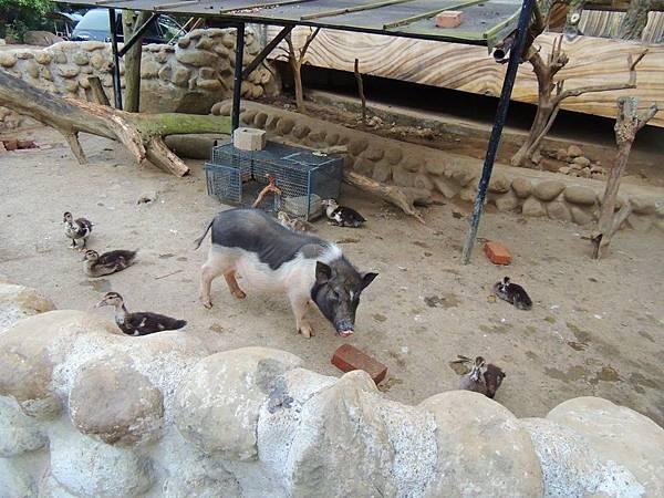 仙湖農場的小動物們_迷你豬和鴨子.JPG