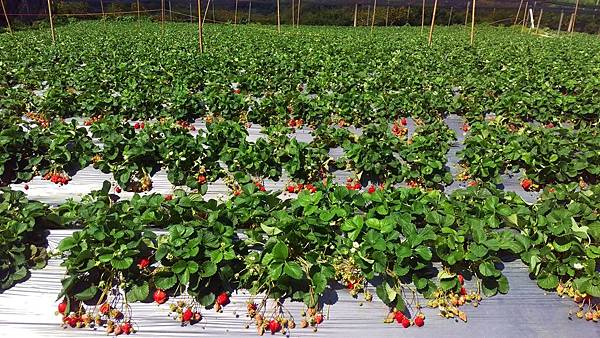 幸福莓滿草莓園01.jpg