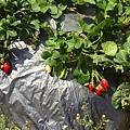 幸福莓滿草莓園04.jpg