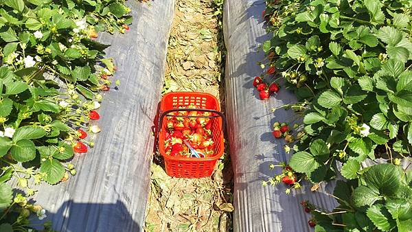 幸福莓滿草莓園05.jpg