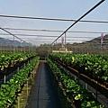依虹草莓園_08.jpg