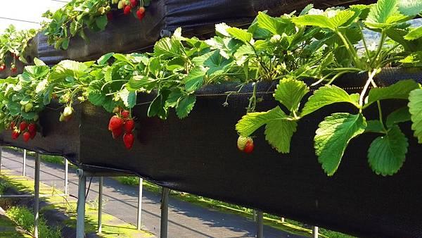 依虹草莓園_09.jpg
