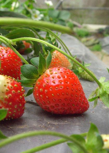 草莓特寫.jpg