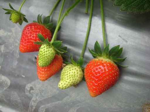 草莓群1.jpg
