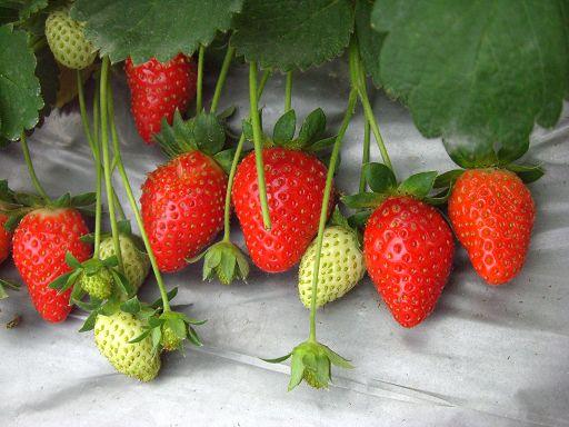 草莓群2.jpg