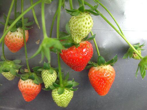 草莓群3.jpg