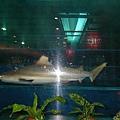 清水休息站的鯊魚