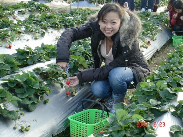 二姊一到草莓園就開始狂採