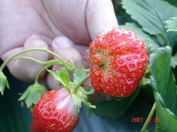也有奇形怪狀的草莓