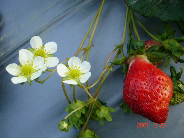 草莓和草莓小花