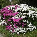 紅白杜鵑花盛開