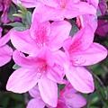 粉紅色杜鵑