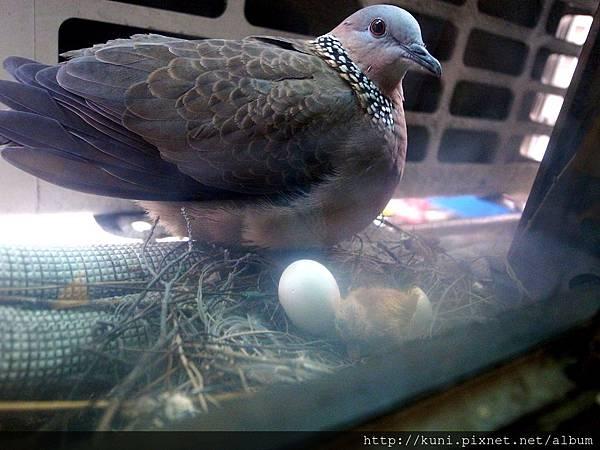 GRD3 16022014 斑鳩媽媽與剛孵化的雛鳥