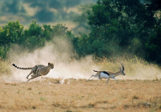 CHEETAH-HUNTING-P.jpg