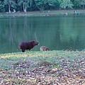 Capivara-水豚