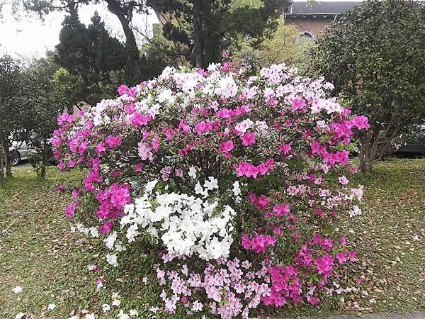 杜鵑花11.jpg