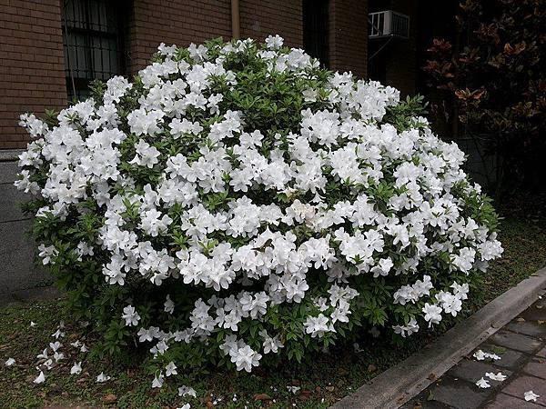 杜鵑花15.jpg
