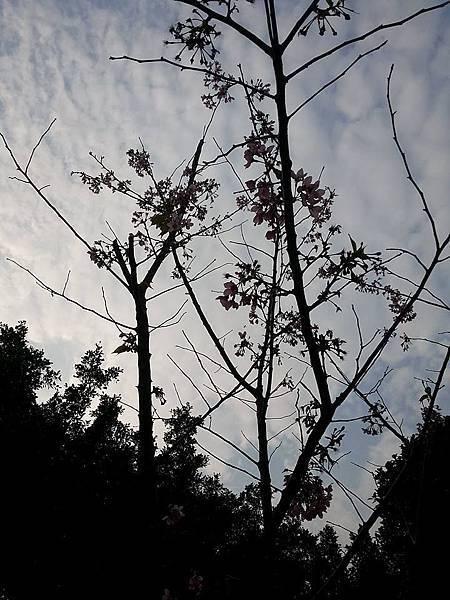 大寒櫻6.jpg