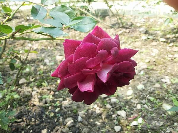 玫瑰4.jpg