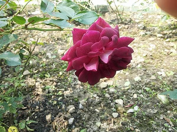 玫瑰5.jpg