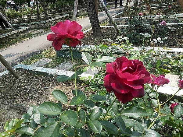 玫瑰6.jpg