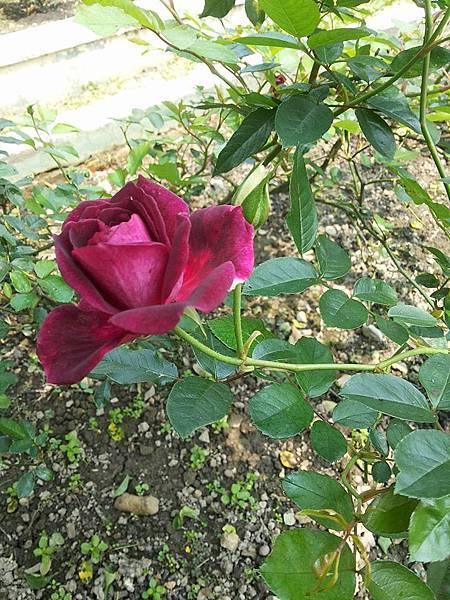 玫瑰7.jpg