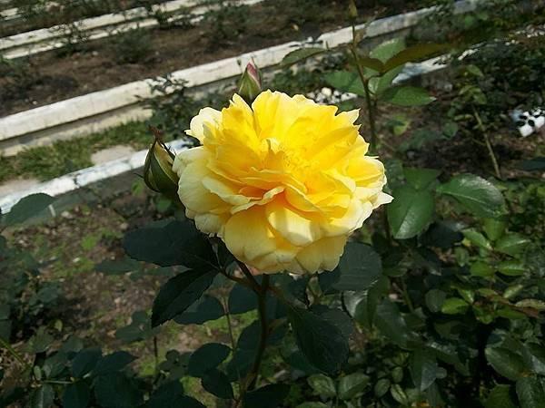 玫瑰9.jpg