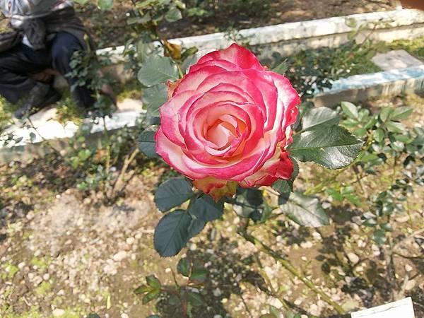 玫瑰12.jpg