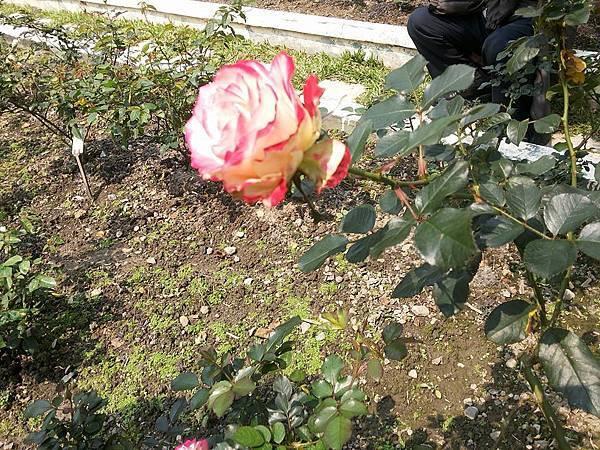 玫瑰14.jpg