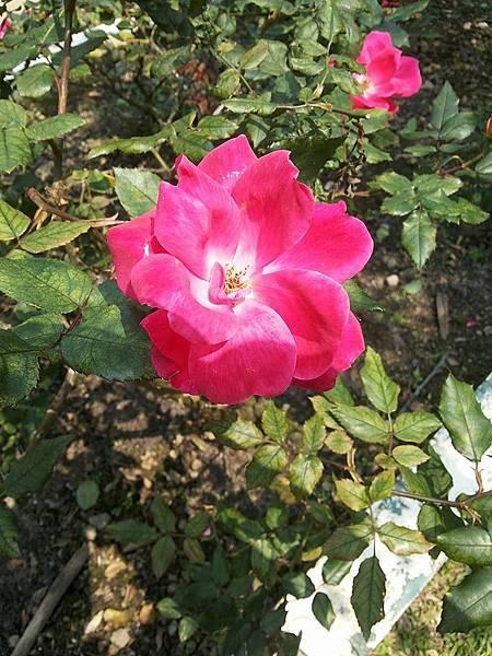 玫瑰17.jpg