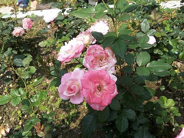 玫瑰18.jpg
