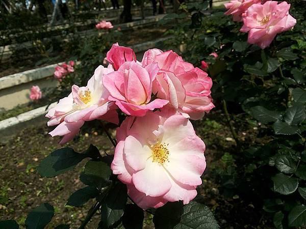 玫瑰20.jpg