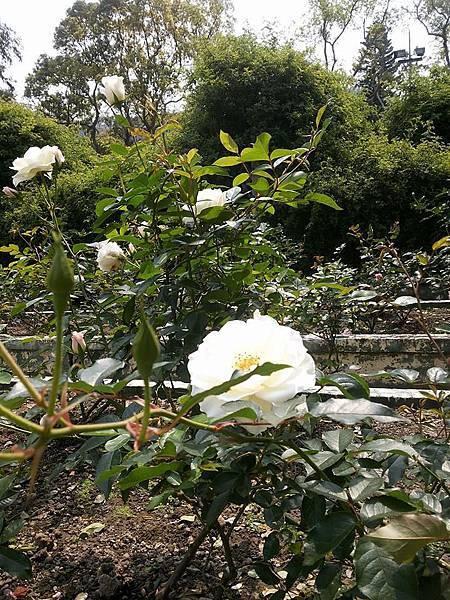 玫瑰24.jpg