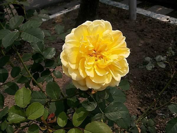 玫瑰28.jpg