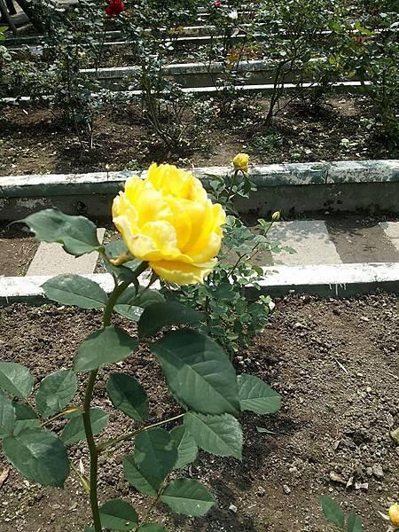 玫瑰29.jpg