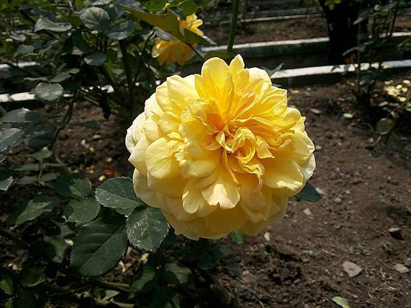 玫瑰31.jpg