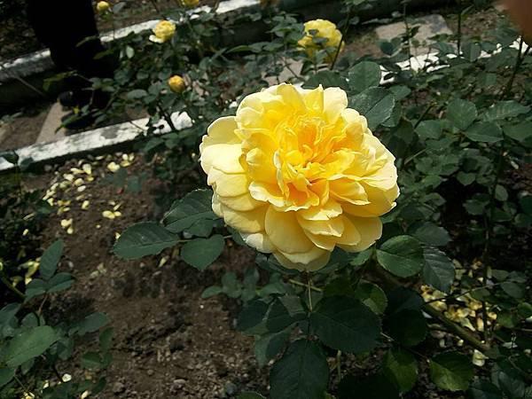 玫瑰33.jpg