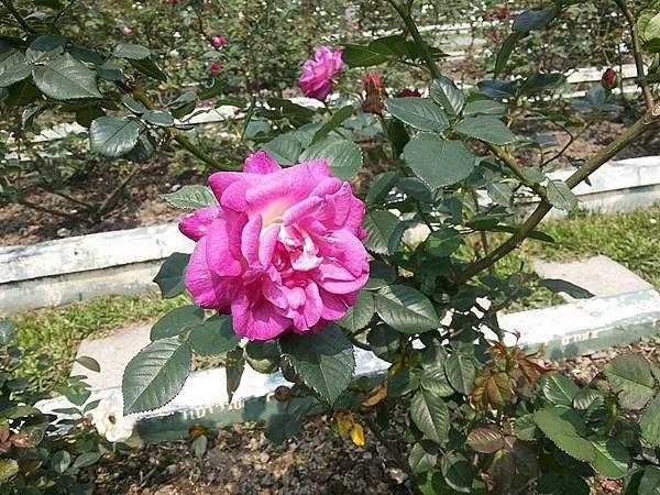 玫瑰34.jpg