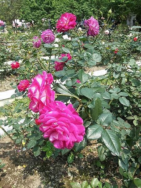 玫瑰35.jpg