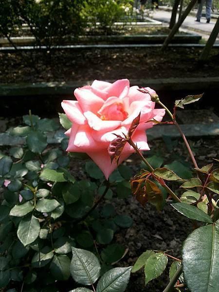 玫瑰37.jpg