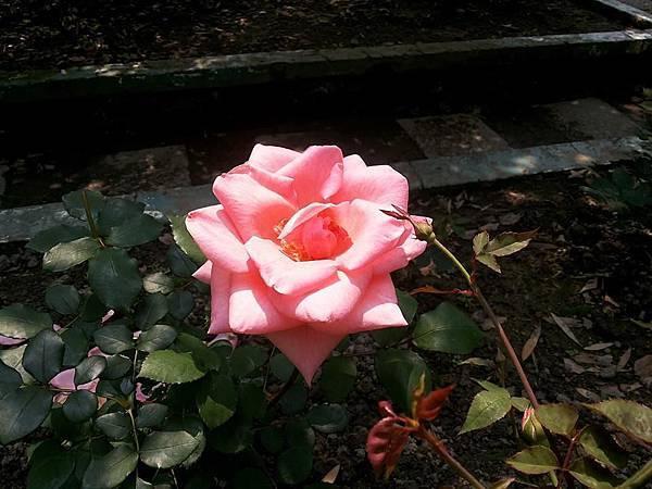 玫瑰38.jpg