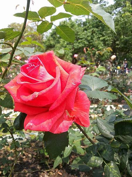 玫瑰40.jpg